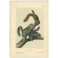 Audubon Octavo Quadruped Bowen 1849 hand-colored lithograph Pl 17 Cat Squirrel