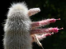 Cleistocactus Strausii (30 SEEDS) Rare Cactus Succulent Korn Samen Semi Graine