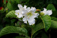 Easter Lily Vine Seeds RARE Tropical Plant Limitd Supply Beaumontia grandiflora