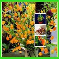 4 bulbs Lily Palace Lantern (Not Seeds) , Rare Flower Garden Plant 2017 new