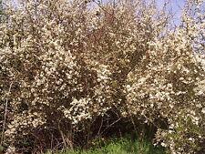 500 Blackthorn Hedging Plants 3-4ft, Prunus Spinosa,Edible Sloe Berries,Sloe Gin