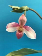 Phragmipedium Hanne Popow Orchid Import Nbs Nice Plant