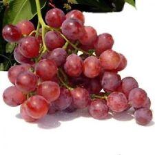 Fruit Seeds - GIANT RED GLOBE GRAPE Vitis Fruit Vine 2 Seeds