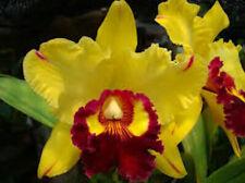 Bin) Rlc Yingluck Smile 'New Day' Cattleya Orchid Plant 2 1/2 Inch Pot