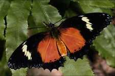 432074 Malay Lacewing Cethosia Hypsea A4 Photo Print