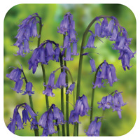 English Bluebell Seeds x Approx 1,000 Ripe Fresh Seed