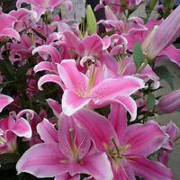 50pc pink rare lily bulbs flower seeds planting lilium perfume home garden'decor