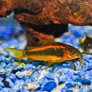 "Neon Orange Laser Cory Catfish (CORYDORAS SP. ""NEON ORANGE LASER"") - Live Fish"