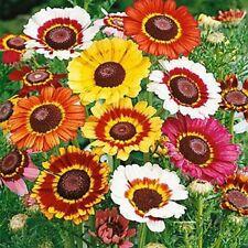 Chrysanthemum carinatum✿PAINTED DAISY✿1000 SEEDS✿Edible✿Colorful Cut Flowers