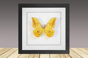 The Japanese silk moth or Japanese oak silkmoth,antheraea yamamai, Framed Moth,