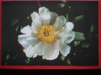 POSTCARD WHITE PEONY FLOWER