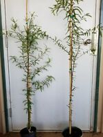 2 Bald Cypress Trees,  Live Plant, Size: 4 ft.fast growing
