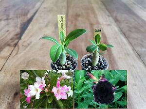 Adenium Obesum Wüstenrose zwei Jungpflanzen Babypflanzen Desert Rose