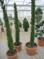 Thuja occidentalis Smaragd Toskanaform - Lebensbaum Smaragd Toskanaform