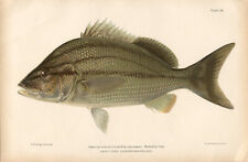 BLACK MARGATE GRUNT SNAPPER ~ 1900 Reef Florida Keys Game Fisherman Art Print