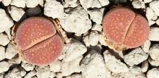 Lithops viletti var. deboeri C 258 20 seeds