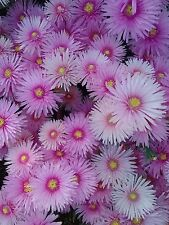 Mesembryanthemum pink (pigface) in 65mm square pot cacti and succulents