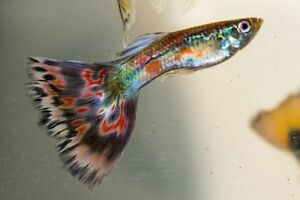 Fancy guppies ( multi delta and blue moscow mix) 15 fry