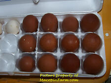 Standard French Black & Blue* Copper Marans 4+ Eggs for Hatching