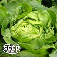 Buttercrunch Lettuce Seeds- 750 NON-GMO SEEDS