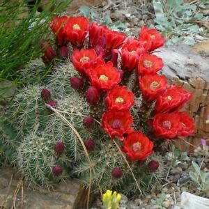 Scarlet Hedgehog Cactus Seeds (Echinocereus coccineus) 25+Seeds