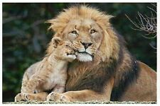 Male Lion & Cub Cuddle, Mammal of Africa, Big Cat, Baby - Modern Animal Postcard