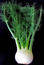 HERB, FENNEL, FLORENCE,100 Heirloom Seed  FREE SHIPPING
