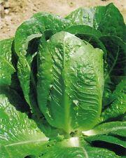 Cos Lettuce, Ballon, French Heirloom Vegetable, 500 Seeds
