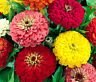 ZINNIA DAHLIA MIXED COLORS Zinnia Elegans - 1,100 Bulk Seeds
