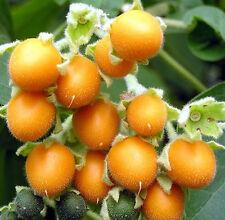 Cyphomandra abutiloides, Zwergbaumtomate, Zwergtamarillo, 50+ Samen