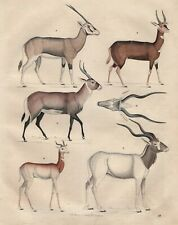 Antilopen Gazellen Beisa-Oryx Damagazelle Buschbock LITHOGRAPHIE von 1842
