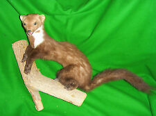 STONE MARTEN Black Forest Trophy Hunting Taxidermy