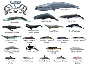 TYPES OF WHALES A4 Matte Laminated Poster Print Fish 210mm x 297mm