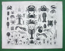 CRABS Shrimp Spiders Crustacea & Arachnida - SUPERB Antique Print