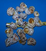 5 GOLD MOUTH TURBO hermit crab sea shells seashell  FISH TANK ITEM # 1088-5PC