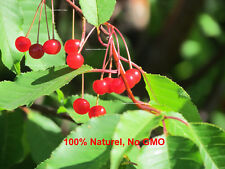25 seeds - Pin Cherry - Prunus pensylvanica - Fire cherry - bird cherry - red -