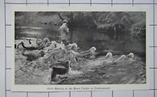 1966 Otter Hunting In The River Cocker At Cockermouth Vintage Clipping