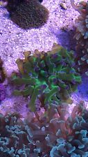 New listing live coral colony wysiwyg. Purple Tipped Frogspawn 1-2 Heads.