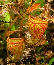 Nepenthes pitopangii SEED GROWN - EXTREMELY RARE carnivorous pitcher plant