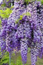 CHINESE WISTERIA TREE GROW AS VINE/TREE/BONSAI,PERENNIAL PACK OF 6 OR 10 SEEDS
