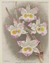 COGNIAUX GOOSSENS DENDROBIUM DEVONIANUM ORCHIDEE ORCHYS GIAMAICA JAMAICA 1800