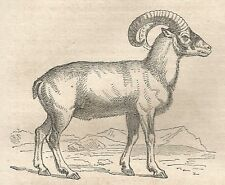 A4725 Ovis aries fera - Xilografia - Stampa Antica del 1864 - Engraving