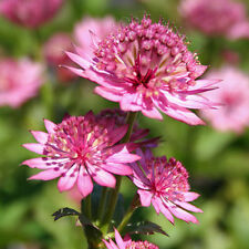 ASTRANTIA MAJOR ROMA 25 Graines Zaden 25 Seeds