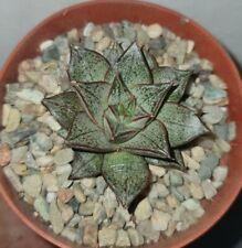 echeveria purpusorum pot 5,5cm spilly cactus caudex succulente pianta grassa