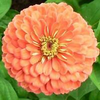 USA Lilliput Rose Zinnia 100-800 seeds Butterfly Gardening