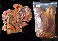Amy's 100 grams Grade D+ INDIAN ALMOND CATAPPA / KETAPANG LEAVES -betta, discus