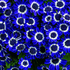 50pcs Rare Blue Daisy Seeds Awesome Easy to Grow Flower Home Garden Decor Hl65
