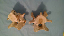 Two Real Cow vertebrae for Taxidermy Crafts Carving Western Landscaping