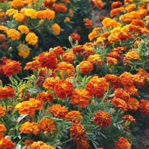 100 FRENCH MARIGOLD Seeds – Sparky Mix – Natural Slug Repellant Colourful Flower