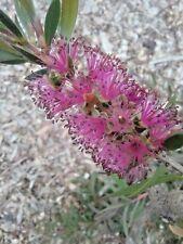 Callistemon Mauve Mist (bottlebrush) in 75mm supergro tube Native Plant